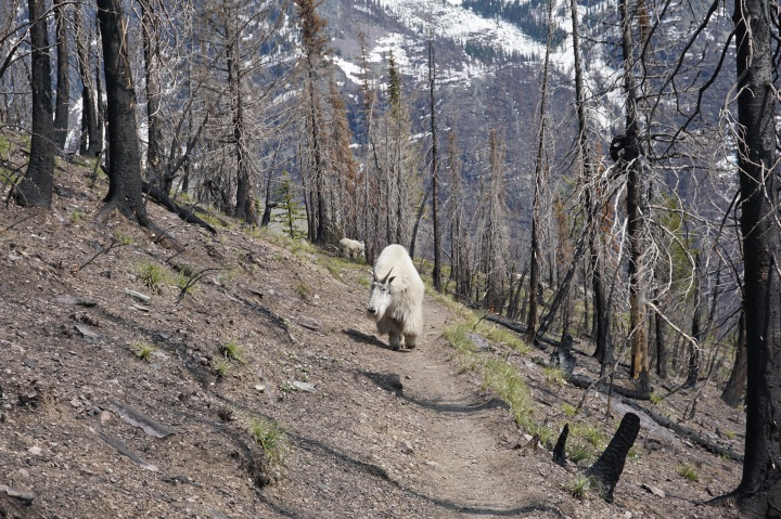 Mountain Goat on Mt Brown trail