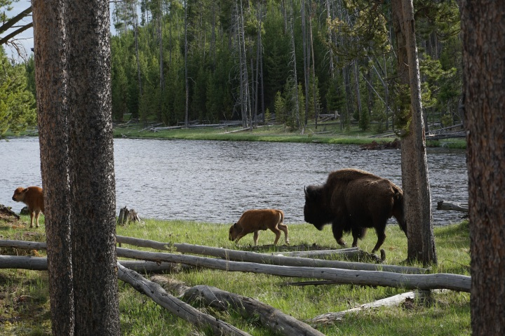 Baby bison in Yellowstone NP
