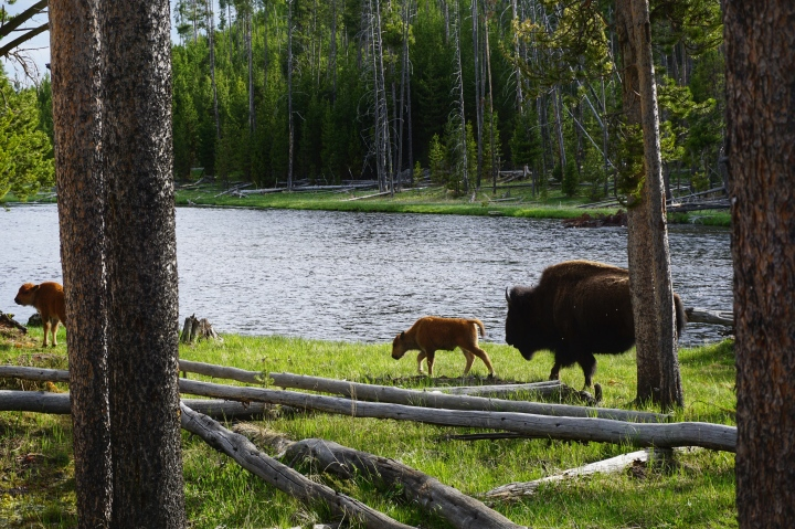 Bison and baby bison in Yellowstone