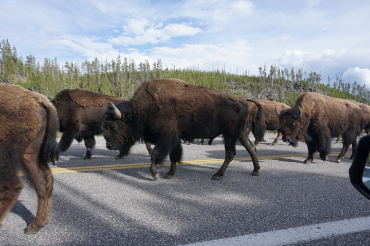 Bison Traffic Jam Yellowstone NP