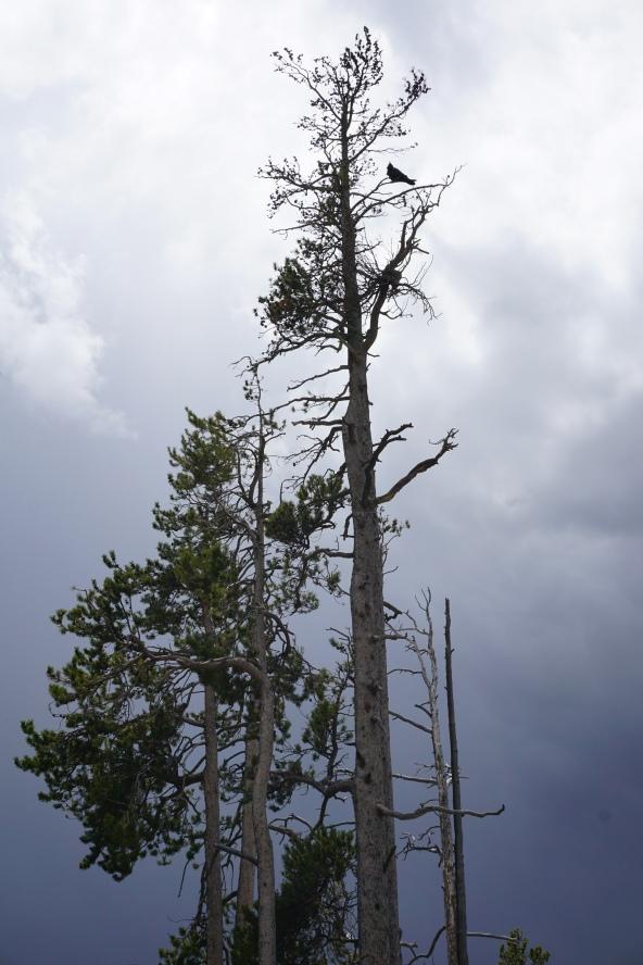 Raven in tree Yellowstone